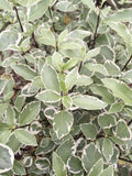 Pittosporum Collaig Silver - Champion Plants