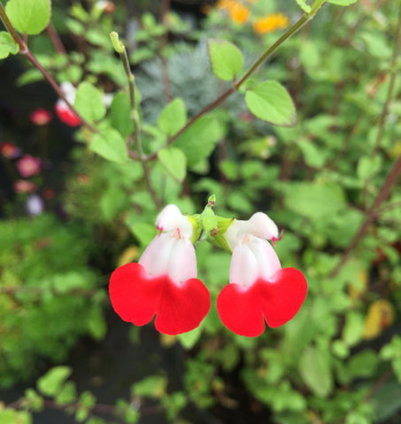 Salvia Hotlips - Champion Plants