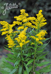 Solidago Golden Baby