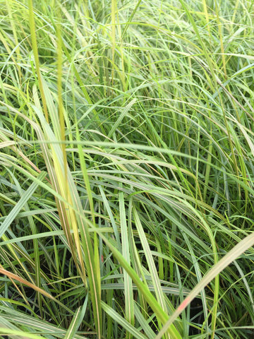 Stipa arundinacea (Anemanthele lessoniana) - Champion Plants