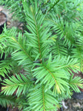 Taxus baccata - AGM - Champion Plants