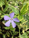 Vinca minor Argenteovariegata - Champion Plants