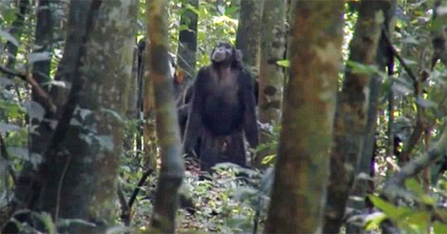 Chimps Strategically Hunting Monkeys In The Forest Is Pretty Terrifying