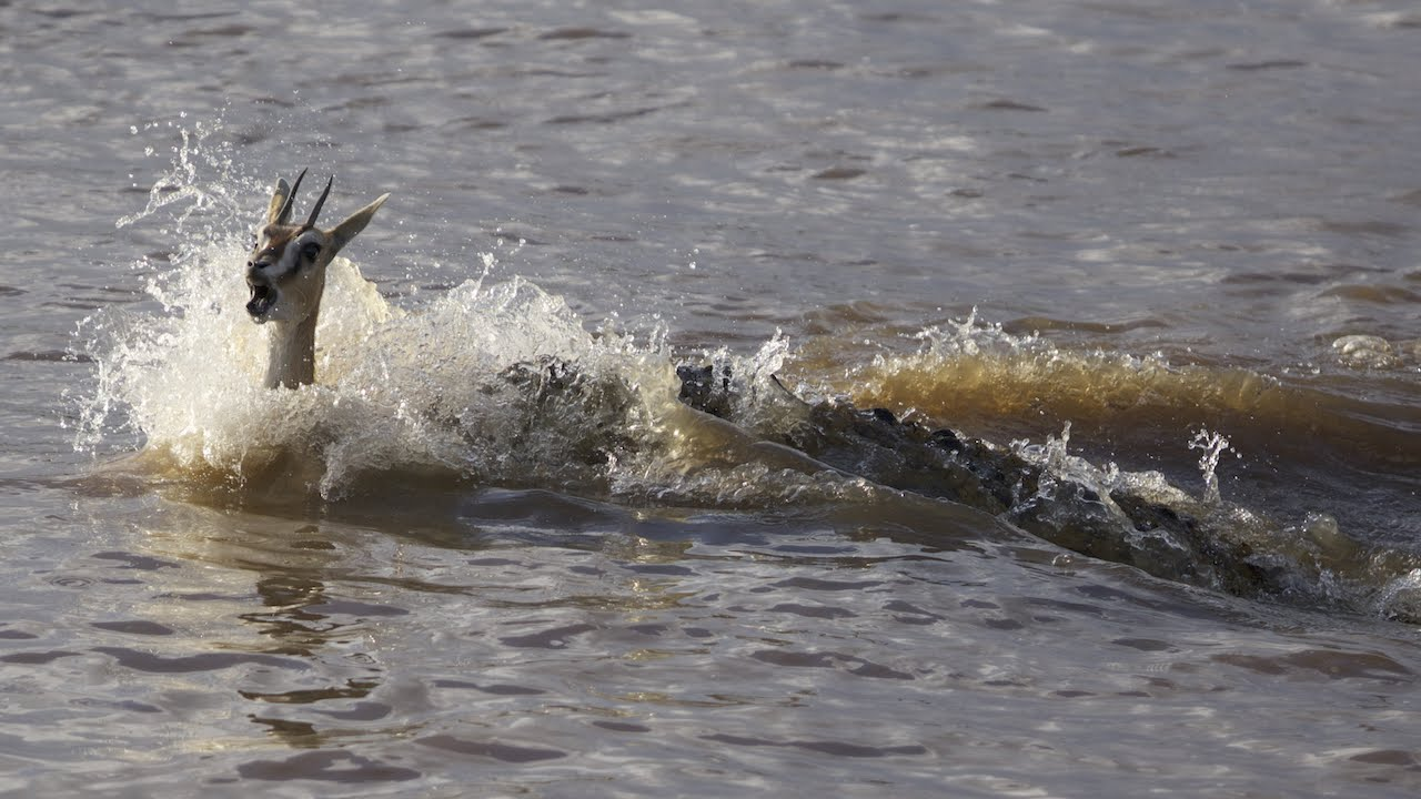 This is why crocodiles are the scariest MF's on the planet heart!- Gazelle group send a few test subjects into the river, and one is sacrificed to save the rest!