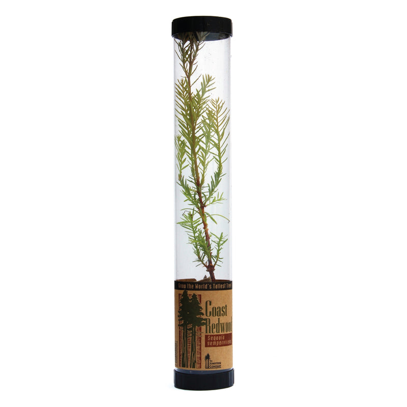 Jonsteen Company Live Tree - Coast Redwood