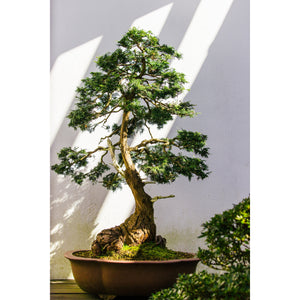 Jonsteen Company Live Tree - Bonsai Starter Kit