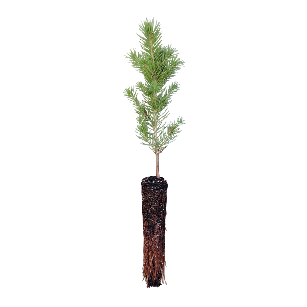 Jonsteen Company Live Tree - Colorado Blue Spruce
