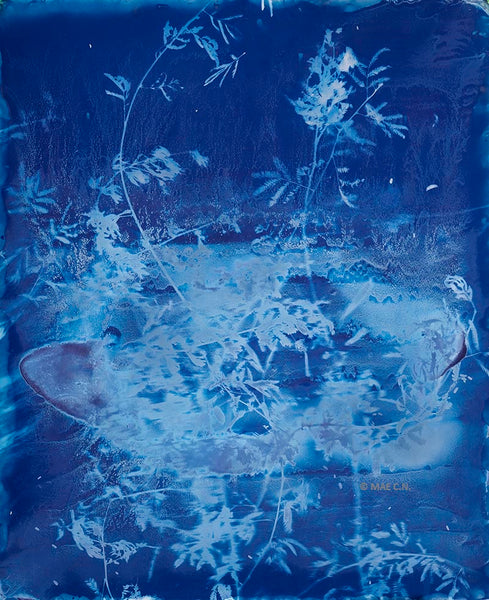 Calliandra Californica - n. 4 (2016) - Cyanotype