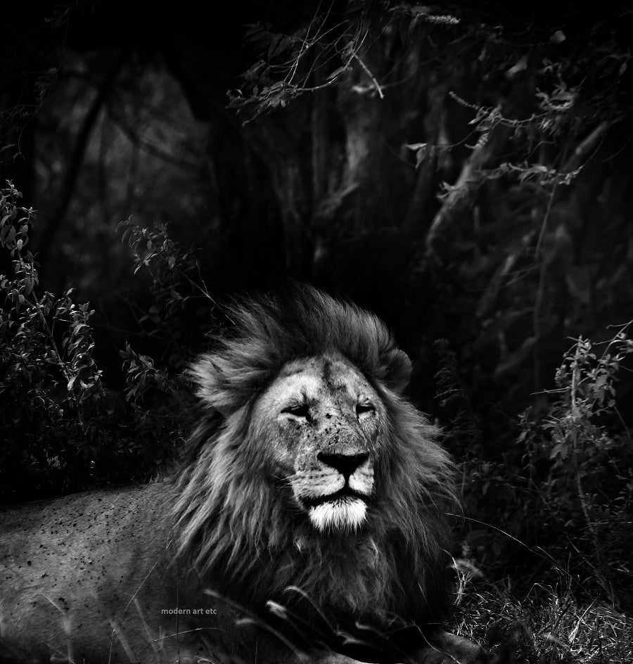 Black & White, Animal Art Photography - Lion