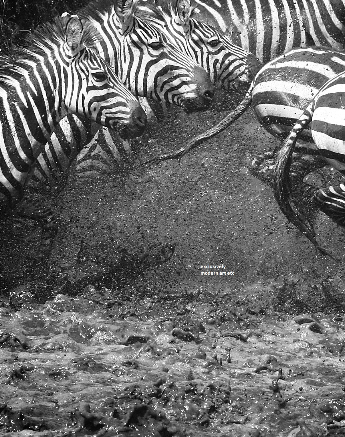 "Black & White Wildlife - Zebras, ""SPLASH"" Kenya, Amboseli National Park"
