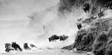 Wildebeest Jumping - black and white