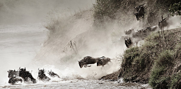 Wildebeest Jumping - color tinged