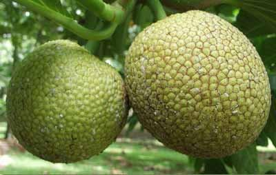 Breadfruit - Farmgate E-Market