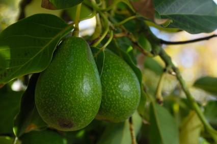 Pear (avocado) - Farmgate E-Market