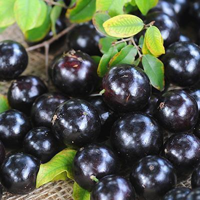 Jabuticaba (Brazilian Grape) - Farmgate E-Market