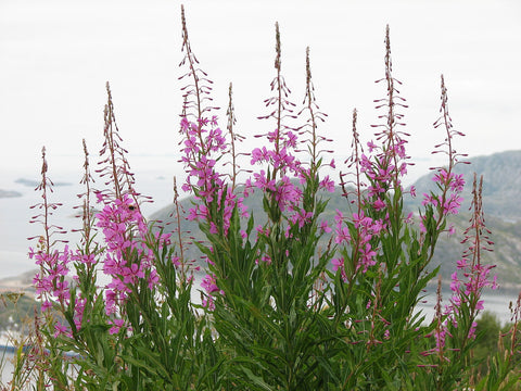 The Story of Rosebay Willowherb