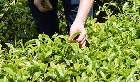 Introduction to Tea Cultivars
