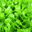 Bibb Lettuce - Farmers Market Fragrance Oil