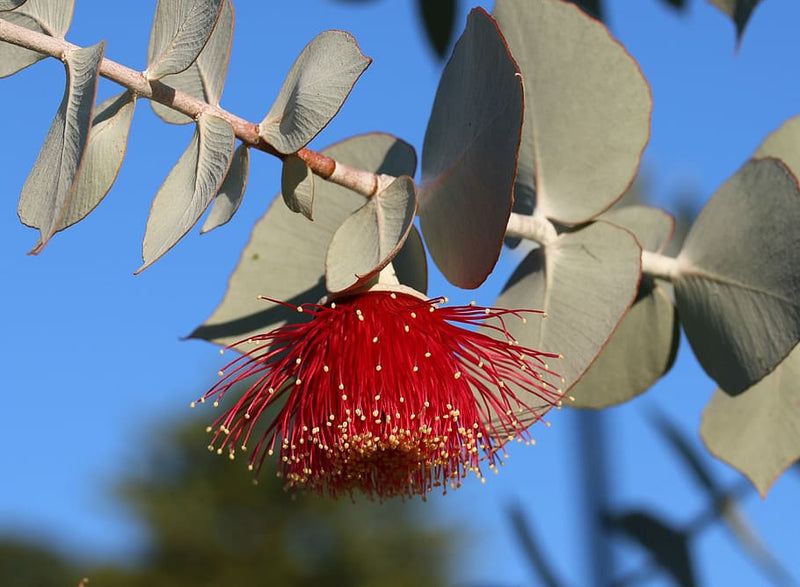 True Eucalyptus Fragrance Oil