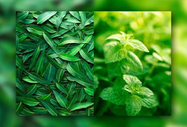 Eucalyptus & Spearmint - Premium Fragrance Oil