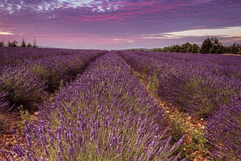 French Cade Lavender type fragrance oil