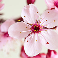 Japanese Cherry Blossom - Bath and Body Works type fragrance oil