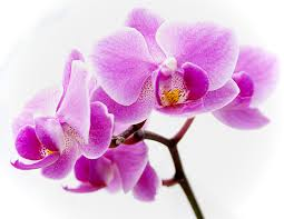 Kissed Orchid Fragrance Oil