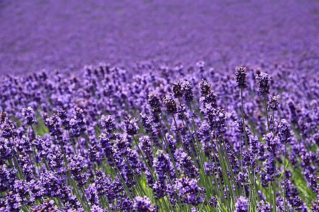 Lavender Essential Oil 40/42 - Essential Oil for Candles