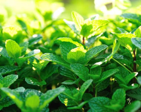 Mint - Custom Fragrance Oil Creator