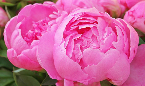 Peony Blossoms Fragrance Oil