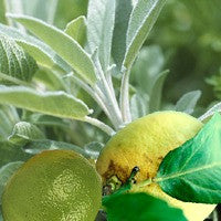 Sage & Citrus - Premium Fragrance Oil