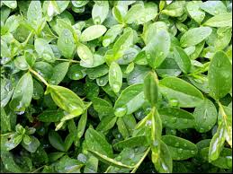 Thyme & Watercress - Wholesale Fragrance Oil