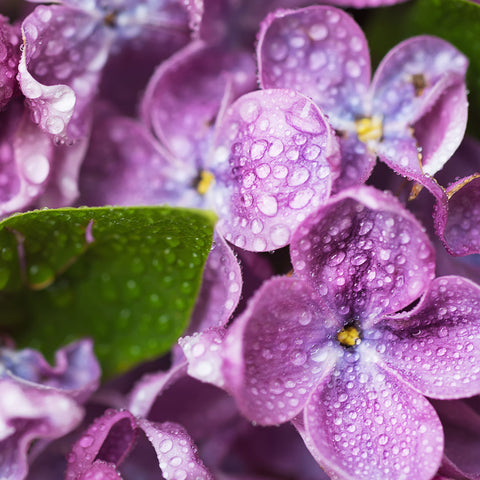Violets and Dew Drops Fragrance Oil