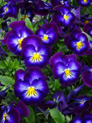 Violets & Violas Fragrance Oil