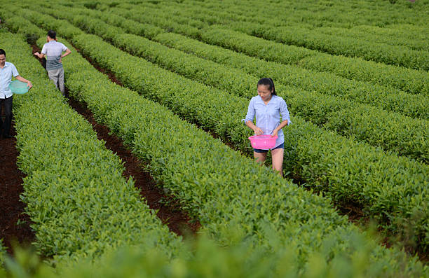 Tea Farm in Hunan Province - Field to Cup loose leaf teas and subscriptions