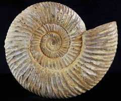 Perisphinctes Ammonite Collection