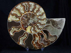Cleoniceras Ammonite Fossil Collection