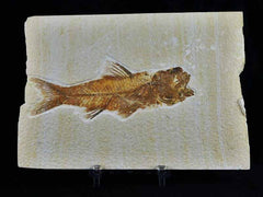 Amphiplaga Brachytera Fossil FIsh Collection