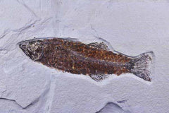 Mioplousus Labracoides Fossil Fish