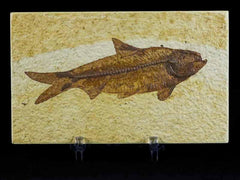 Knightia Fossil Fish Collection
