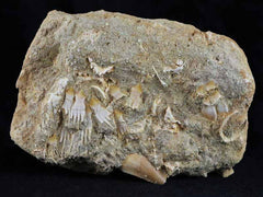 Schizorhiza Stomeri Fossil Fish Collection