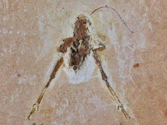 Brazil Insect Fossil Collection