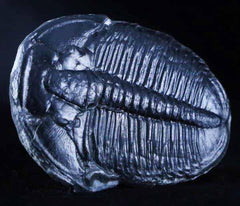 Elrathia Trilobites Collection