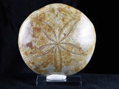 Sand Dollar Fossil Collection