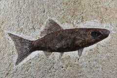 Rhacaolepis Buccalis Fossil Fish