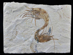 Fossil Shrimp Collection