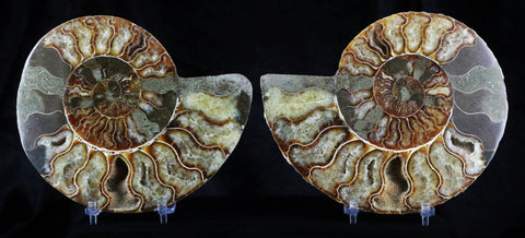 TWO 2 LARGE HALF CUT AMMONITE SHELL JURASSIC AGE FOSSIL FROM MADAGASCAR 146 MM A++-Fossil Age Minerals