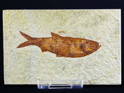 2.9 IN Knightia Eocaena Fossil Fish Green River Formation WY Eocene Age Free COA & Stand - Fossil Age Minerals