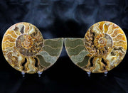 Two 2 XL Half Cut Cleoniceras Ammonite Fossil Shell Jurassic Age 163mm Free Stands - Fossil Age Minerals