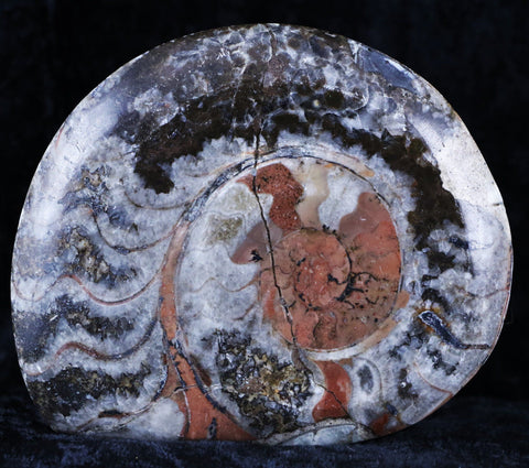 GONIATITE AMMONITE POLISHED FOSSIL PLATE FROM MOROCCO 360 MILLION YEARS OLD-Fossil Age Minerals